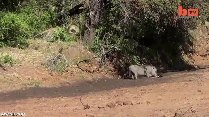 Enlace a Pumba no es una presa tan fácil como podría parecer