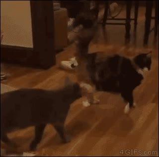 Enlace a Si cuando digo que los gatos son los animales más ninjas