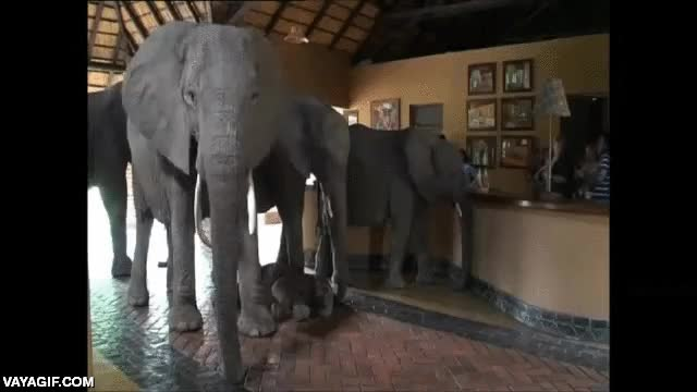 Enlace a Estos elefantes se meten en la recepción de un hotel africano para resguardarse del calor