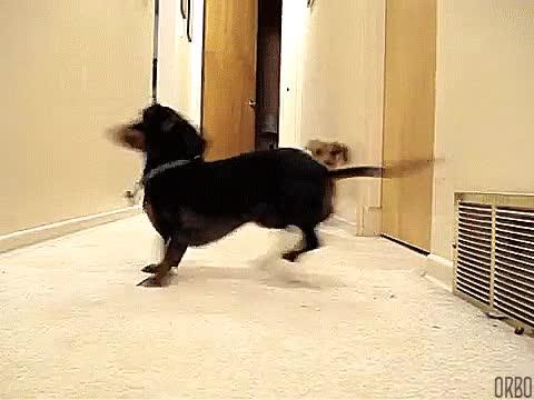 Enlace a Estos dachshunds jugando a buscar la pelotita por turnos