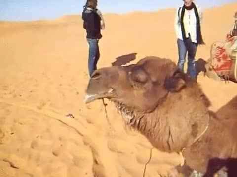 Enlace a Puedes pensar que los camellos son animales raros, pero si les ves la lengua inflada ya ni te cuento