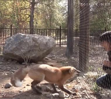 Enlace a Creo que este zorro está muy contento por tu visita