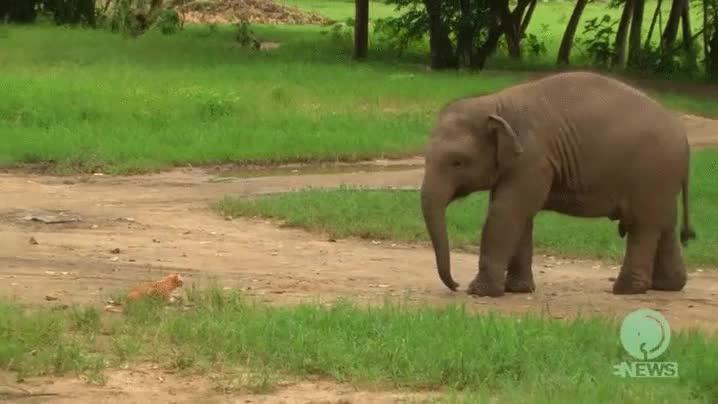 Enlace a No lo puedo saber con certeza, pero apostaría que este elefante se ha peído en dirección al gato