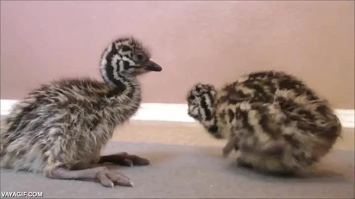 Enlace a Dos bebés de emú intentando dar sus primeros pasos
