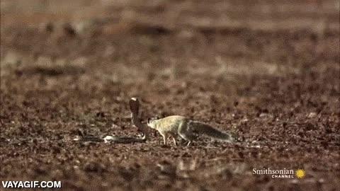 Enlace a Así es la increíble agilidad de una mangosta