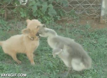 Enlace a Feroz combate entre un pato y un perro