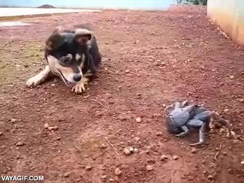Enlace a El perro que no sabía cómo enfrentarse a un cangrejo de cocotero