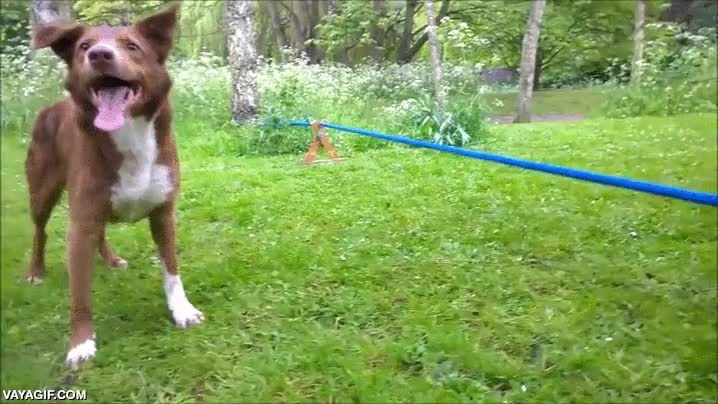 Enlace a El famoso perro equilibrista de la cuerda floja ha aprendido un nuevo truco