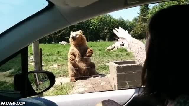 Enlace a Parece que el oso simpático ya le tiene el truco cogido a eso de atrapar comida al vuelo