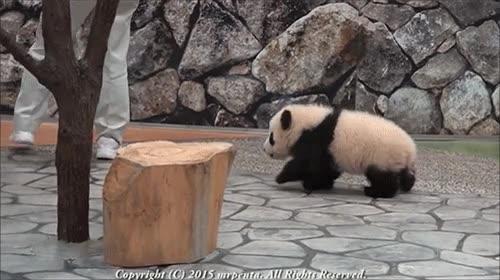 Enlace a Un hombre escapando del feroz ataque de un oso panda por muy poco