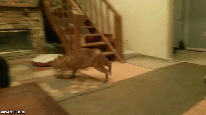 Enlace a ¿Crees que tu perro se emociona mucho cuando vuelves a casa? Espera a ver a este capibara
