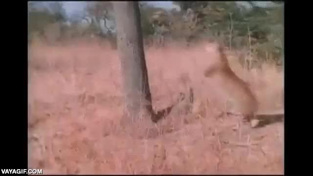 Enlace a Si alguna vez te encuentras con un leopardo en una sabana, trepar a un árbol no es la solución
