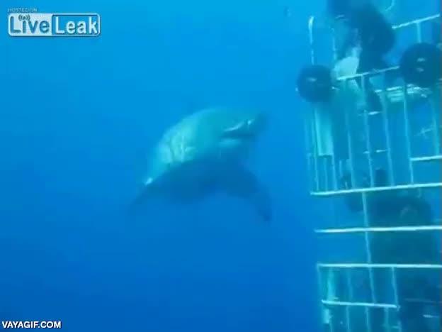 Enlace a Uno de los ejemplares de gran tiburón blanco más grandes jamás filmados
