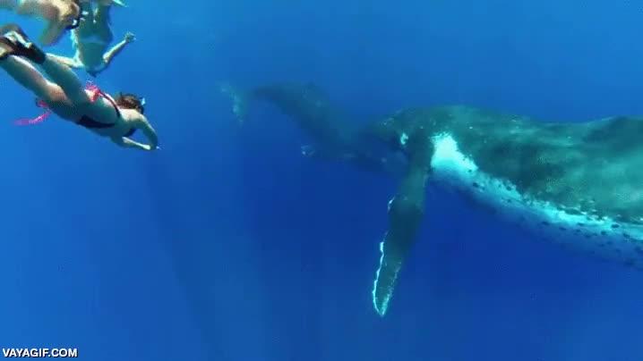 Enlace a Nadando con ballenas jorobadas
