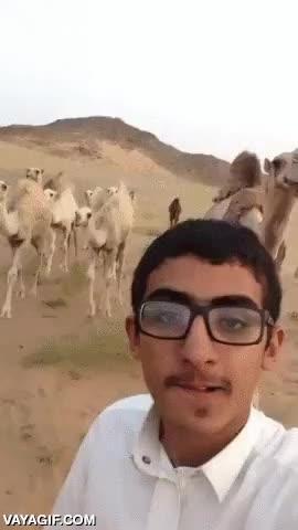 Enlace a Hasta los dromedarios del desierto están hasta la joroba de los selfies