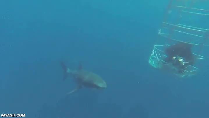 Enlace a Los tiburones blancos son peligrosos para todos