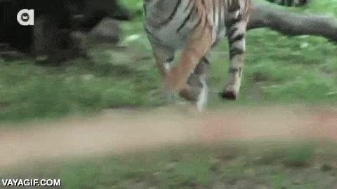 Enlace a Tigres gozándolo con chupachups enormes de sangre y carne