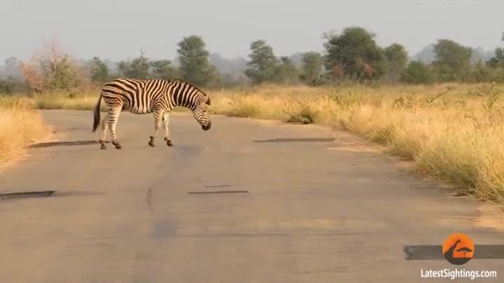 Enlace a ¿Por qué la cebra cruzó la carretera?