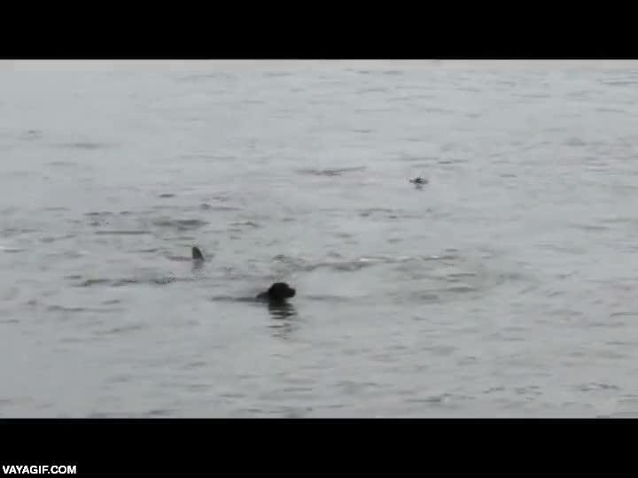Enlace a Supongo que a las orcas no les debe gustar mucho el perro, si no este lo tenía crudo