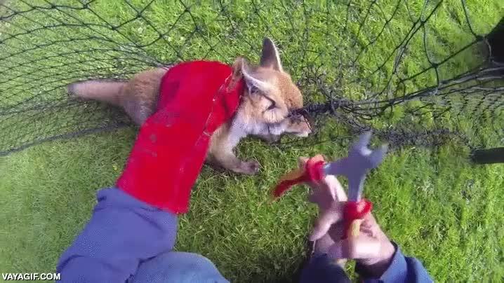 Enlace a Este cachorrito de zorro tiene una curiosa manera de agradecer su rescate