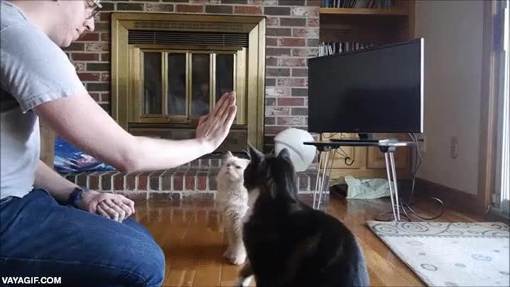 Enlace a Enseñando a los gatos a hacer high five