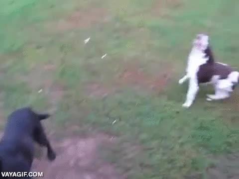 Enlace a Los perros no necesitan saber nada de superación, así este perro ciego juega a buscar la pelota