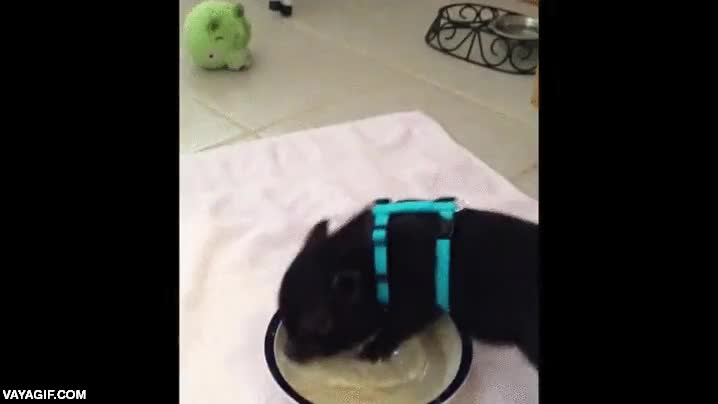 Enlace a Un cerdito dejando su plato bien limpio
