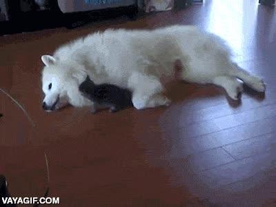 Enlace a Terrible ataque de este gato a un indefenso perrito