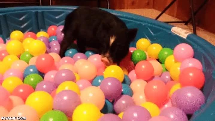 Enlace a Parece mentira lo que disfrutan la mayoría de animales en una piscina de bolas
