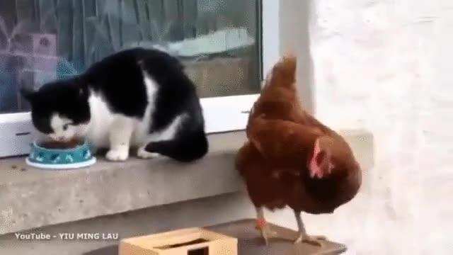 Enlace a La gallina que supo imponer su autoridad