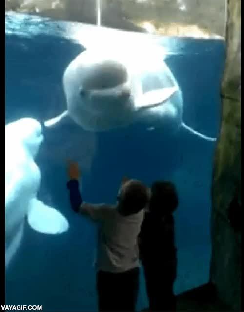 Enlace a La beluga más vacilona del acuario