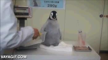 Enlace a Creo que a este pingüino no le gusta demasiado que lo cojan así