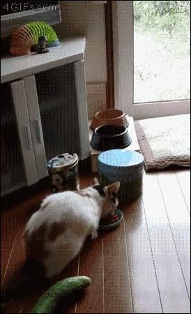 Enlace a Este gato al final desarrollará ''pepinofobia''