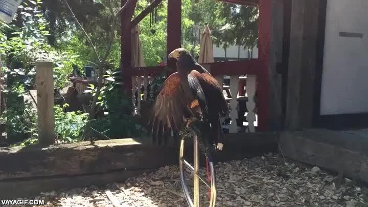 Enlace a Las águilas también necesitan refrescarse con este calor