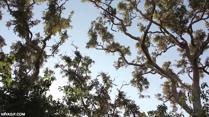 Enlace a Cacería en los árboles entre un leopardo y un mono, poco pudo hacer el segundo