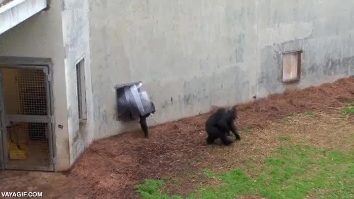 Enlace a Chimpancés rescatados de un laboratorio pueden salir al aire libre por primera vez