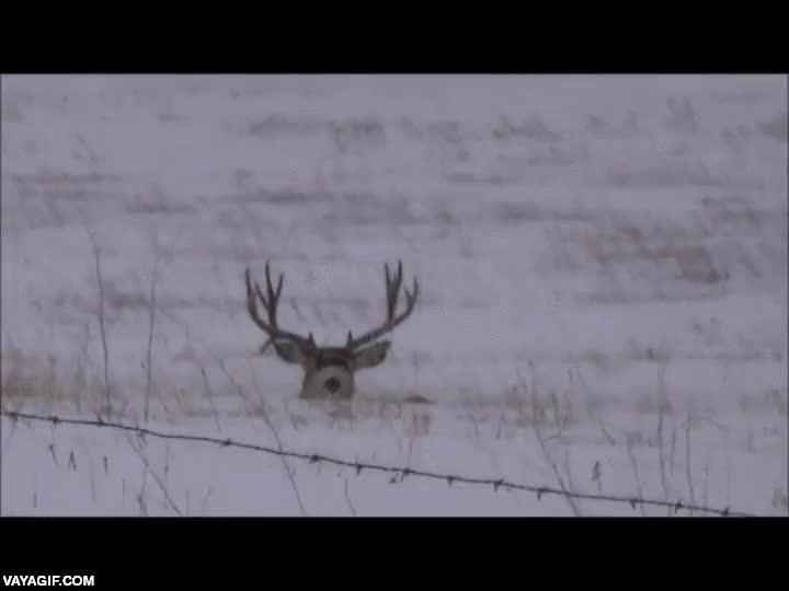 Enlace a Este ciervo ya ha entrado en la adolescencia y se le están cayendo los cuernos de leche