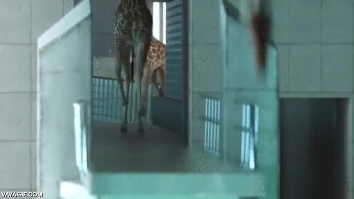 Enlace a Mientras tanto, en las olimpiadas animales de Tanzania...