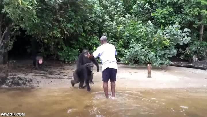 Enlace a Chimpancés liberados en un refugio natural se abrazan con su cuidador en un emotivo reencuentro