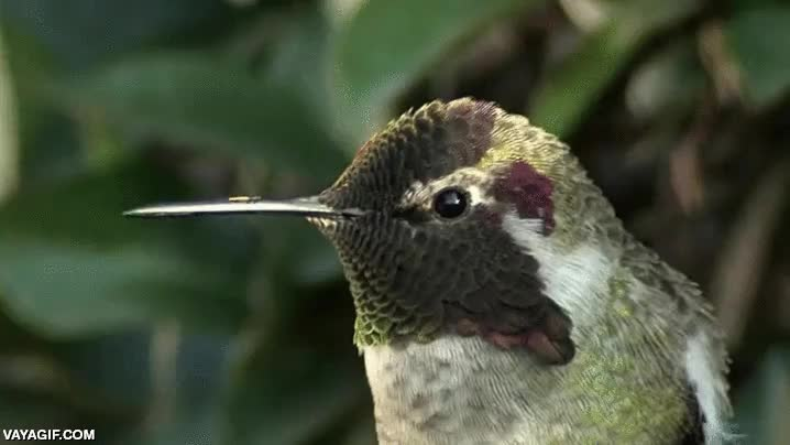 Enlace a El colibrí iridiscente