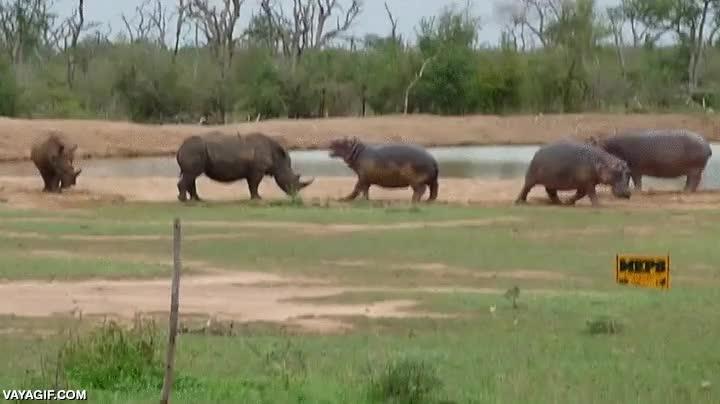 Enlace a Hoy, en combates épicos de la naturaleza, hipopótamo vs. rinoceronte