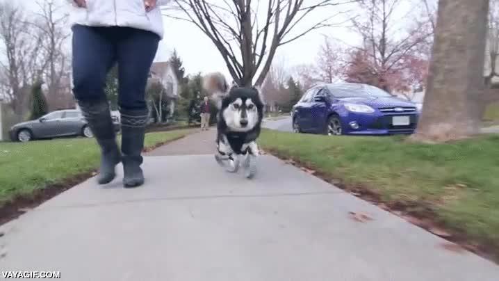 Enlace a Un perro caminando con sus nuevas prótesis impresas en 3D