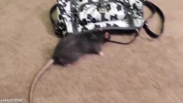Enlace a Tanto entrenamiento a la rata al final parece que tenía una finalidad más práctica