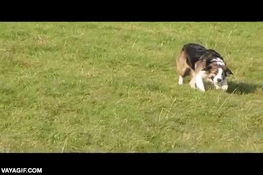 Enlace a Sigilo canino sincronizado