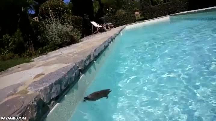 Enlace a Rescatando al erizo que cayó en su piscina
