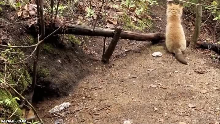Enlace a Los cachorros de zorro saliendo de su guarida para empezar a descubrir el mundo