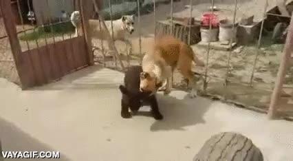 Enlace a Los osos son unos grandes luchadores
