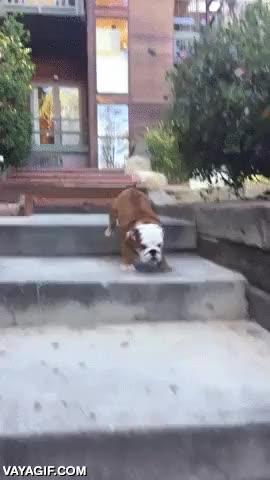 Enlace a Un cachorro de bulldog corriendo a la máxima velocidad mientras baja escaleras