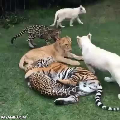 Enlace a En el fondo solo son gatos grandes