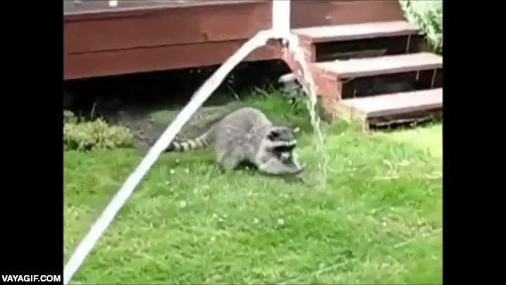 Enlace a El mapache que quería controlar el agua